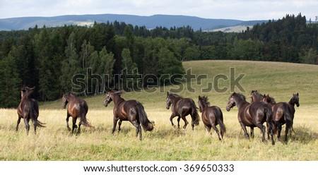 Running herd of black kladrubian horses - stock photo