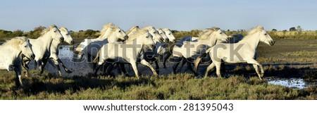 Running Herd of white horses of Gamargue  - stock photo