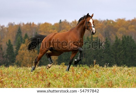 Running horse and autumn landscape - stock photo