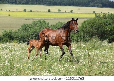 Running mare with foal - stock photo