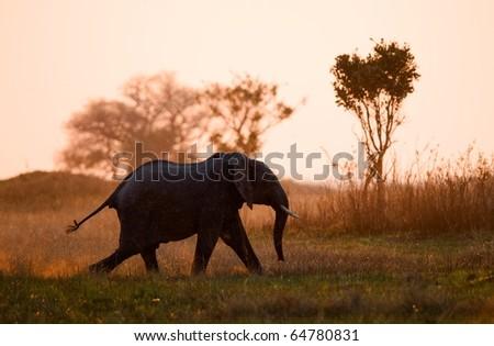 Running on a sunset. An elephant running in beams of the sunset sun. Savanna. The coming sun. - stock photo