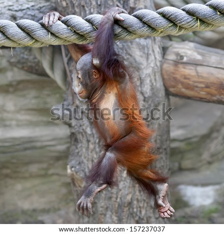 Running on the air of an orangutan baby. A young monkey on thick rope. Cute and cuddly cub with cheerful expression. Careless childhood of little great ape. Human like primate. - stock photo