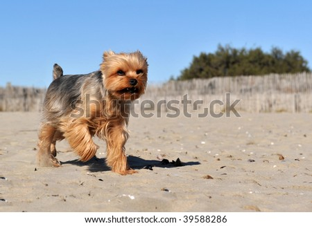 running purebred yorkshire terrier on a beach - stock photo