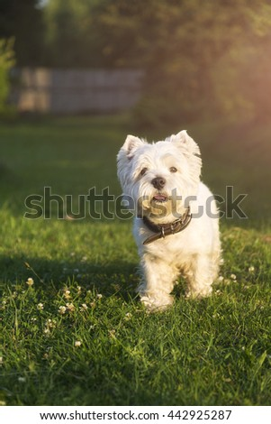 Running West Highland White terrier on a green lawn sunny day - stock photo