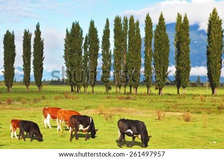 Rural idyll in Chilean Patagonia. Orange and black cows graze on green pasture. - stock photo