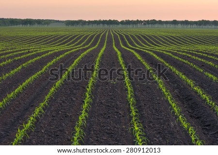 Rural landscape with a field of young corn - stock photo