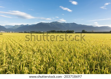 Rural scenery of paddy farm in Chishang Township, Taitung County, Taiwan, Asia. - stock photo