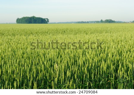 Rural Wheat field in mid summer. - stock photo