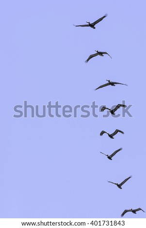 Rush hour at the beach: Eight brown pelicans flying in the same direction above the shore of Padre Island along the Gulf Coast in Texas, for wildlife themes of leadership, group behavior, teamwork - stock photo