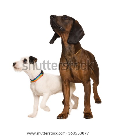 russel terrier and bavarian mountain dog on white - stock photo