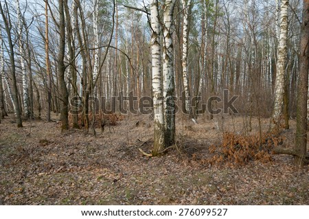 Russia. Birch trees in spring forest. - stock photo