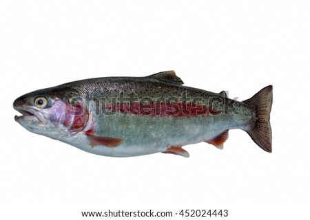 Russia, Kamchatka.The rainbow trout (Oncorhynchus mykiss) is a trout and species of salmonid native to cold-water tributaries of the Pacific Ocean in Asia and North America. - stock photo