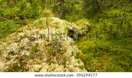Russia Siberia natural Park Ergaki Krasnoyarsk territory clean mountains and forests, fresh air, crystal water, summer greens, relict forests, roots and mosses, the season of Hiking, humid climate - stock photo