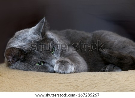 Russian Blue Cat, cat, resting cat on day time, siesta time, domestic cat, lazy cat on day time, cat close up with blur background, Portrait of Russian Blue cat - stock photo
