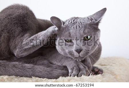 Russian Blue cat cleaning and scratching itself - stock photo
