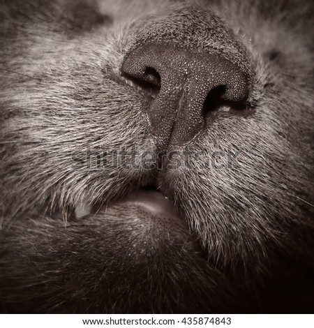 Russian blue cat. Close up of muzzle detail - stock photo