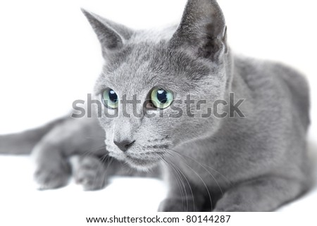 Russian blue cat hunting on a white background - stock photo