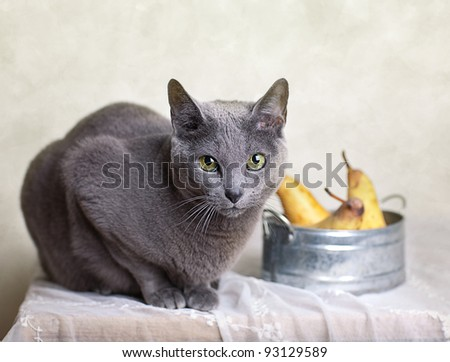 Russian Blue cat on Table with bowl of fresh Pears - stock photo