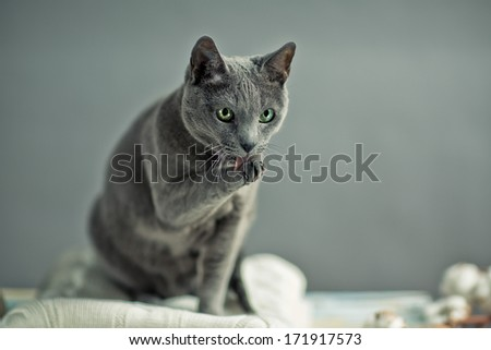 Russian Blue Cat Portrait with Woolen Sweater - stock photo