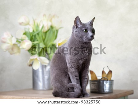 Russian Blue cat sitting on table with pears and tulips - stock photo
