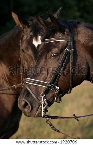Russian horse - stock photo