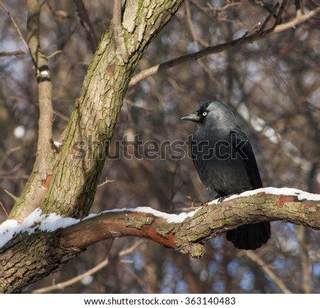 Russian Jackdaw sits on a branch in the winter woods. - stock photo