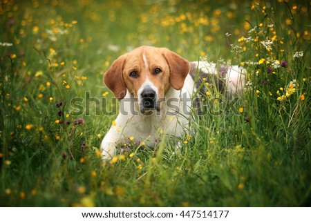Russian piebald hound dog lying in the grass - stock photo