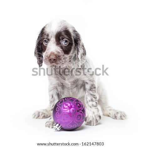 Russian spaniel puppy with christmas ball isolated on white background. - stock photo