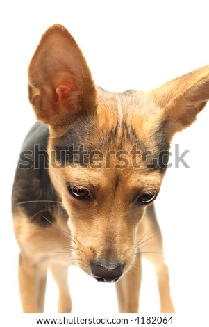 russian toy terrier isolated on white looking down - stock photo