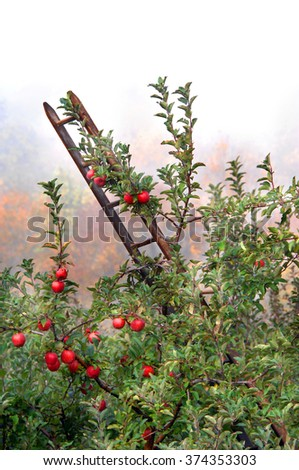 Rustic wooden ladder leans against an apple tree loaded with ripe fruit.  Morning mist surrounded orchard and Fall foliage peeks through the white. - stock photo