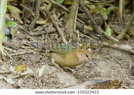rusty naped pitta bird feeding is low near the ground  Eating worms and insects as food (Mae Wong National Park, Thailand) - stock photo