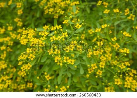 ruta pinnata, Canarian Rue, natural floral background - stock photo
