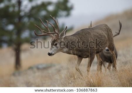 Rutting Mule Deer Bucks walking in a very light snowfall - stock photo
