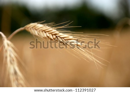 Rye - stock photo