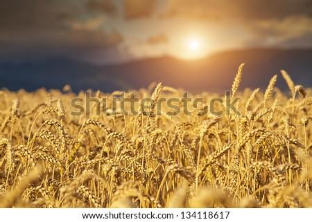 Rye Field at Sunset - stock photo