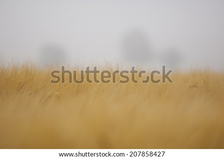 Rye getting ready to harvest in sweden - stock photo