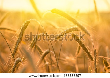 Rye in the rays of the setting sun - stock photo