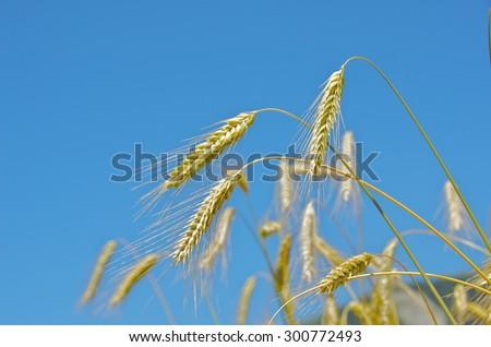 Rye spike and blue sky - stock photo