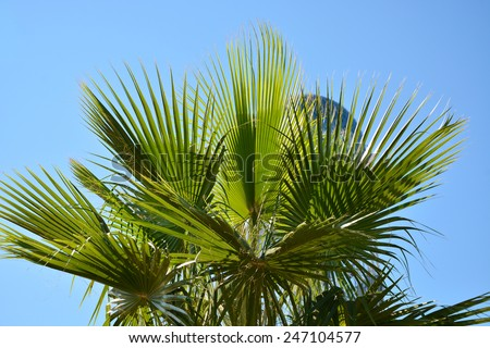 Sabal palmetto (Cabbage palmetto) leaves against blue sky - stock photo