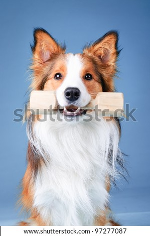 Sable and white border collie portrait in studio, training dog (aport) - stock photo