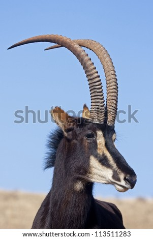 Sable antelope standing in grassland; Hippotragus niger - stock photo