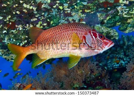 Sabre squirrelfish (Sargocentron spiniferum) in the Red Sea, Egypt. - stock photo