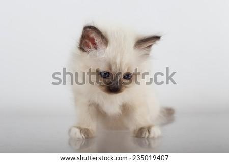 Sacred cat, kittens, tibetan monks, white background, blue eyes, isolated  - stock photo