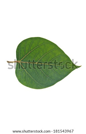 Sacred Fig leaf, isolated on a white background        - stock photo