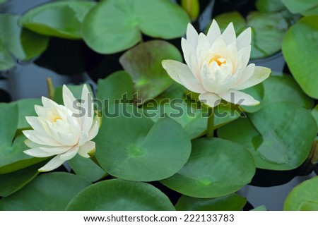 Sacred Lotus Plants or Nelumbo nucifera in full bloom atop water surrounded by lily pads - stock photo