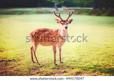 Sacred sika deer at Nara park in the morning, Nara, Japan - stock photo