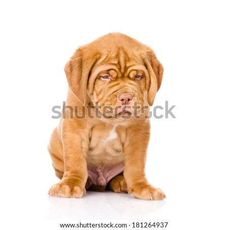 Sad Bordeaux puppy dog sitting in front. isolated on white background - stock photo