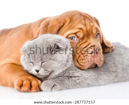 Sad Bordeaux puppy hugs sleeping cat. isolated on white background - stock photo