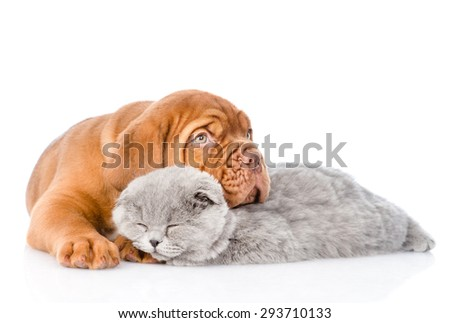 Sad Bordeaux puppy hugs sleeping cat. isolated on white background - stock photo