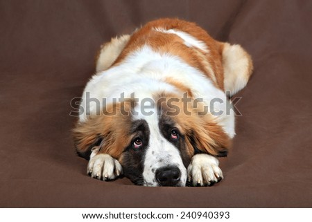 Sad breed dog Saint Bernard is resting, lying down, resting his head on his paws, studio photo on a brown background. - stock photo